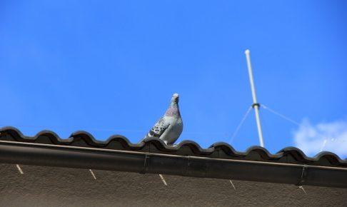 屋根の上に留まる鳩