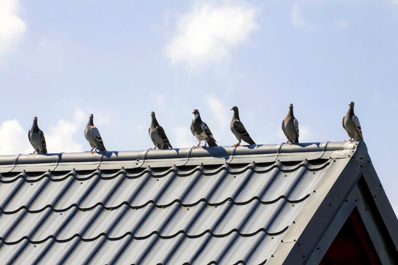 屋根の上に留まる鳩の群