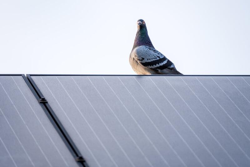太陽光パネルと鳩
