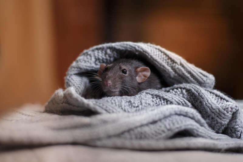 ニットにくるまるネズミ