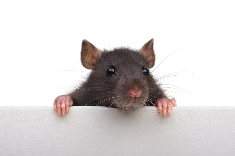 におい な ネズミ 嫌い