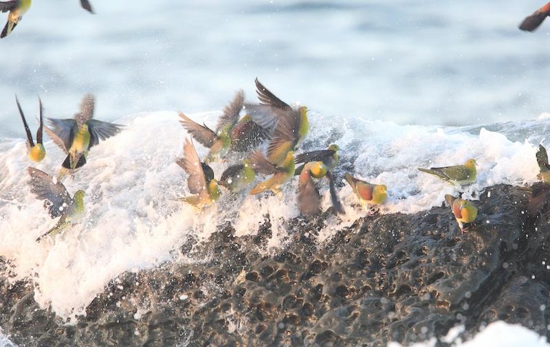アオバトの海水摂取