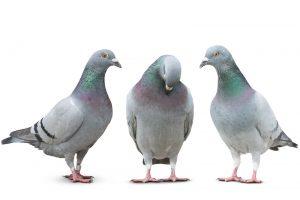 鳩って何種類いるの?