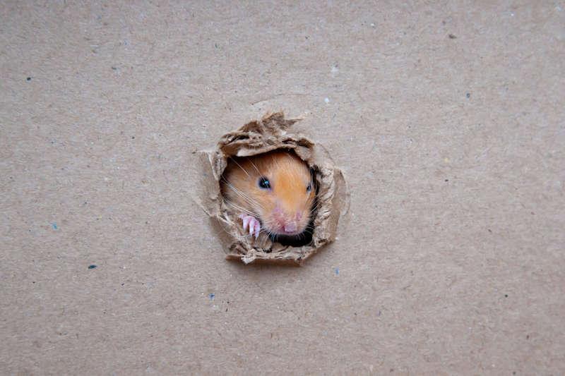 穴から侵入しようとするネズミ