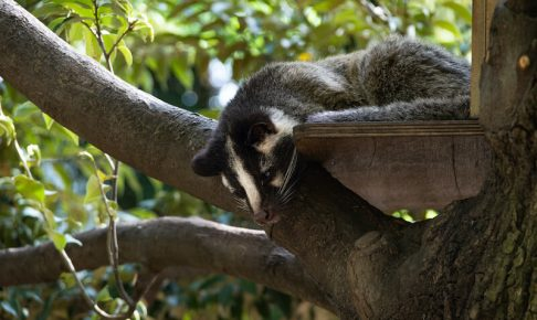 木の上に潜むハクビシン